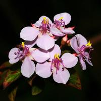Pink Hawaiian Flowers - Heterocentron subtriplinervium – Pearlflower