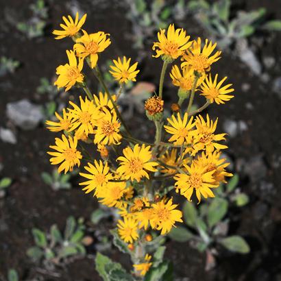 Heterotheca grandiflora - Telegraphweed, Telegraph Weed, Silk-grass Goldenaster
