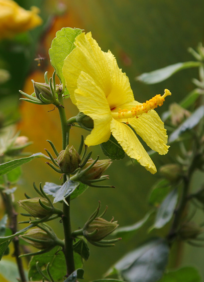 Hibiscus brackenridgei - Ma'o Hau Hele, Brackenridge's Rosemallow, Native Yellow Hibiscus, Pua Aloalo