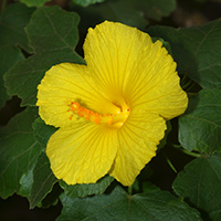 Yellow Hawaiian Flowers - Hibiscus brackenridgei – Ma'o Hau Hele
