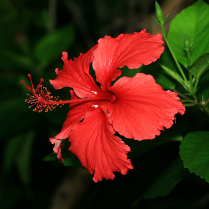 hibiscus rosasinensis  chinese hibiscus, shoeblackplant, Natural flower