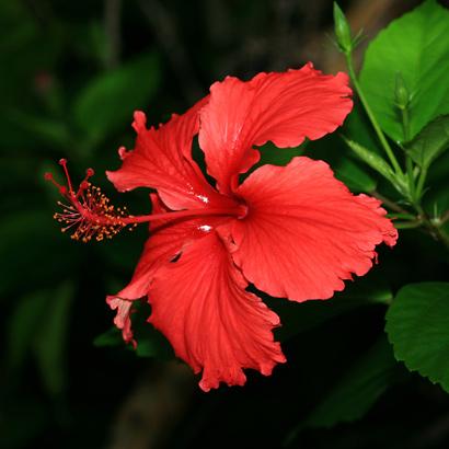Hibiscus rosa-sinensis - Chinese Hibiscus, Shoeblackplant, Tropical Hibiscus, Red Hibiscus