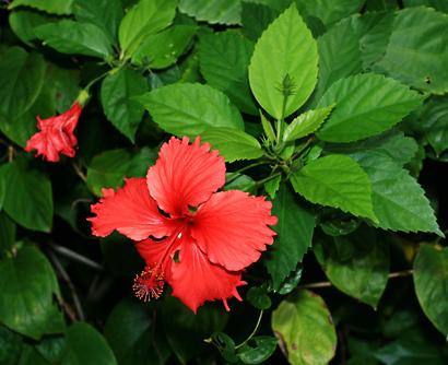 Hibiscus rosa-sinensis...