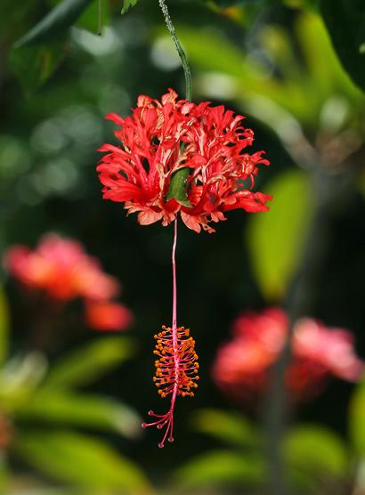 Hibiscus schizopetalus - Coral Hibiscus, Fringed Rosemallow, Japanese Lantern, Chinese Lantern, Pagoda Flower, Skeleton Hibiscus, Fringed Hibiscus (red flower)
