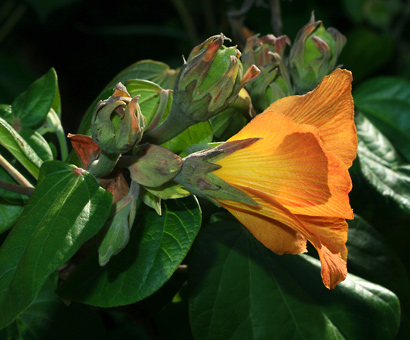 Hibiscus tiliaceus - Hau, Sea Hibiscus, Beach Hibiscus, Mahoe (orange flower showing sepals)