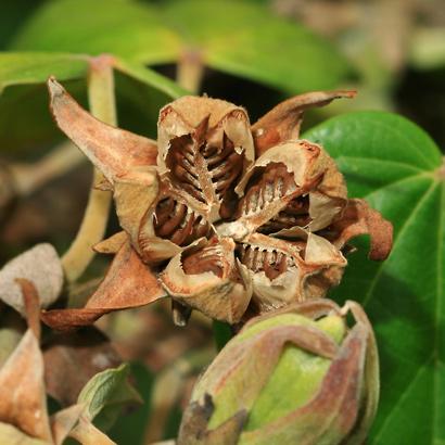 Hibiscus tiliaceus - Hau, Sea Hibiscus, Beach Hibiscus, Mahoe (seed capsule and seeds)