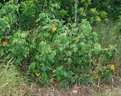 Hibiscus tiliaceus - Hau, Sea Hibiscus, Beach Hibiscus, Mahoe