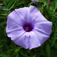 Purple and Blue Hawaiian Flowers - Ipomoea cairica – Mile A Minute Vine