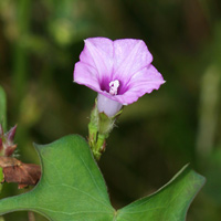 Purple and Blue Hawaiian Flowers - Ipomoea triloba – Littlebell
