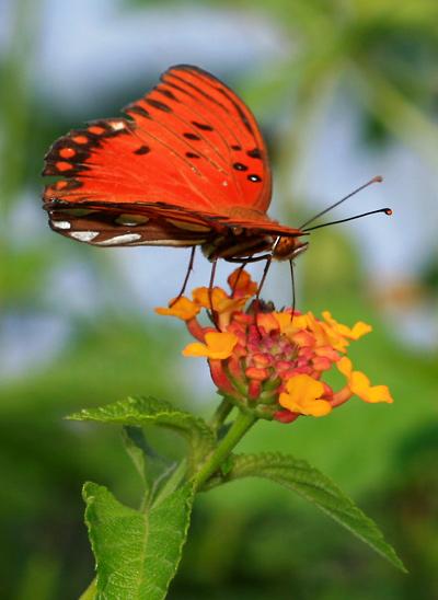 Lantana camara - Lantana (flower with a Gulf Fritillary (Agraulis vanillae) butterfly)
