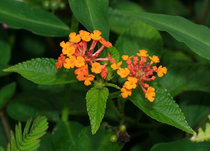 Lantana camara - Lantana (orange flowers)