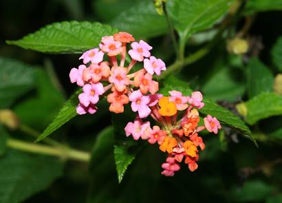 Lantana camara - Lantana (pink flowers)