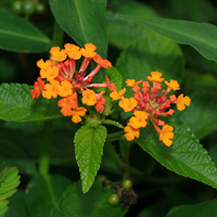 Orange Hawaiian Flowers - Lantana camara – Lantana