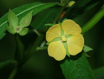 Ludwigia Octovalvis Mexican Primrose Willow Narrow Leaf