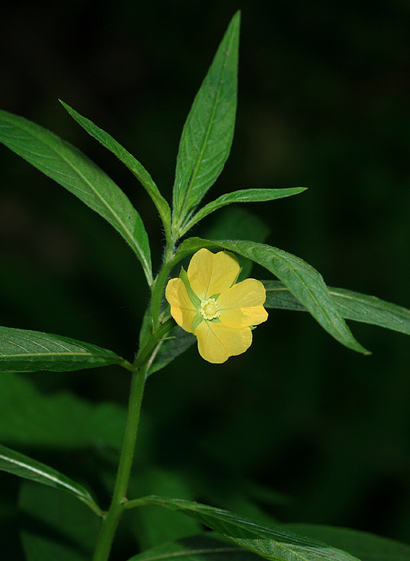 Ludwigia octovalvis - Mexican Primrose-willow, Narrow-leaf Water-primrose, Seedbox, Willow Primrose