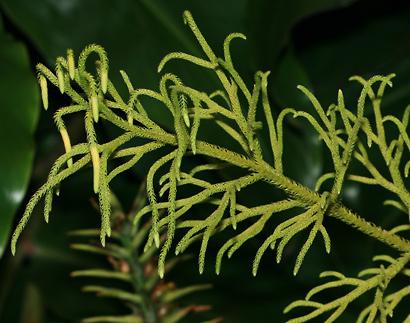 Lycopodiella cernua - Staghorn Clubmoss, Wawae'iole, Christmas Tree Clubmoss, Nodding Club-moss (strobili)