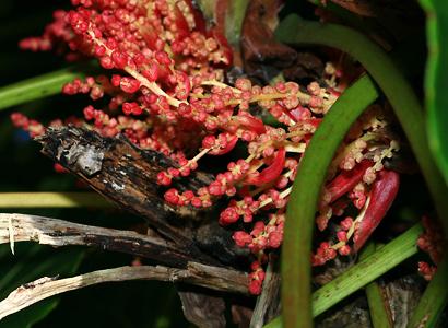 Macaranga mappa - Bingabing, Pengua (flowers)