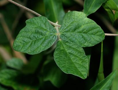 Macroptilium atropurpureum - Purple Bushbean, Purple Bush-bean, Atro, Siratro (leaf)