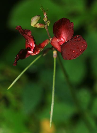Macroptilium lathyroides - Wild Bushbean, Wild Pea Bean, Phasey Bean, Cow Pea, Cowpea, Wild Bush Bean (flowers)