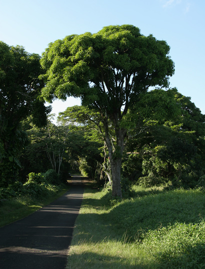 Mangifera indica - Mango, Manako
