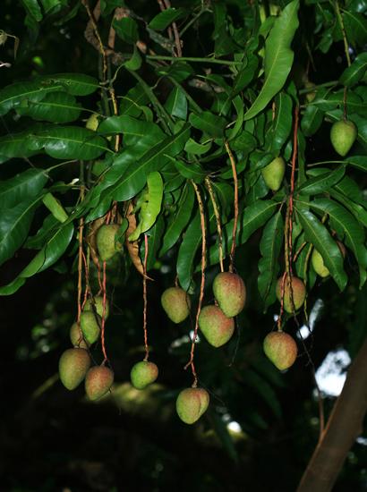 Mangifera indica - Mango, Manako (fruit)