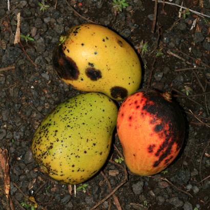 Mangifera indica - Mango, Manako (fallen fruit with anthracnose)