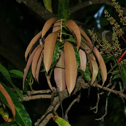 Mangifera indica - Mango, Manako (young leaves)