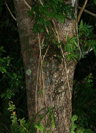 Mangifera indica - Mango, Manako (bark)