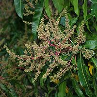 Brown and Drab Hawaiian Flowers - Mangifera indica – Mango
