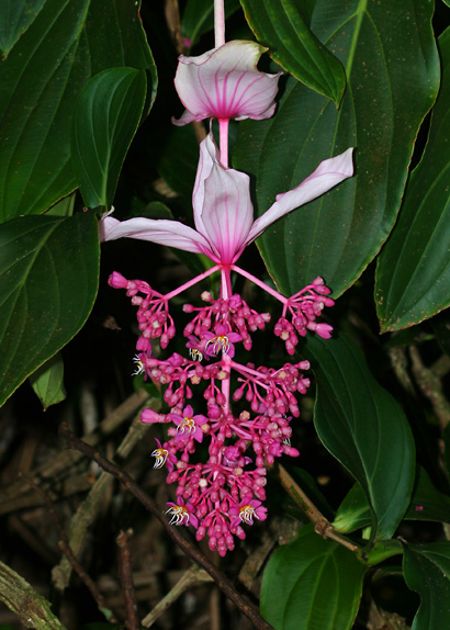Medinilla magnifica - Rose Grape, Showy Medinilla, Malaysian Orchid, Chandelier Tree, Kapa-kapa (flowers)