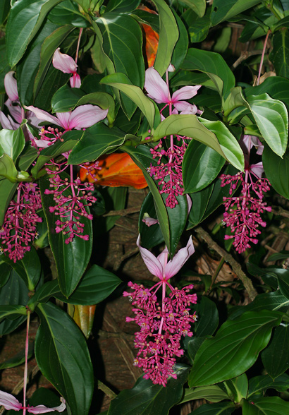 Medinilla magnifica - Rose Grape, Showy Medinilla, Malaysian Orchid, Chandelier Tree, Kapa-kapa