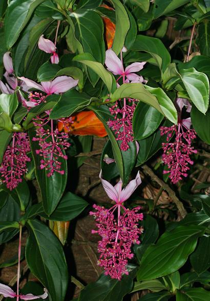 Medinilla magnifica - Rose Grape, Showy Medinilla, Malaysian Orchid, Chandelier Tree, Kapa-kapa