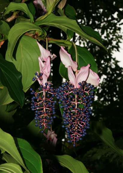 Medinilla magnifica - Rose Grape, Showy Medinilla, Malaysian Orchid, Chandelier Tree, Kapa-kapa ...