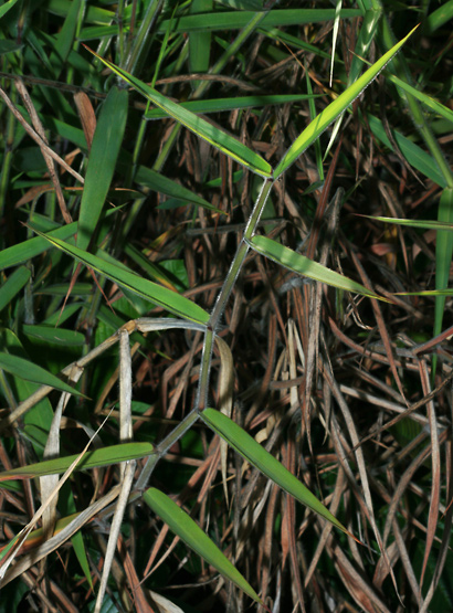 Melinis minutiflora - Molasses Grass, Molassesgrass, Brazilian Stink Grass, Efwatakala Grass (leaves)