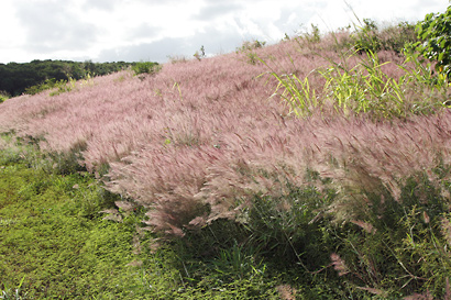Melinis minutiflora - Molasses Grass, Molassesgrass, Brazilian Stink Grass, Efwatakala Grass