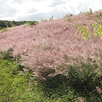 Inconspicuous Hawaiian Flowers - Melinis minutiflora – Molasses Grass