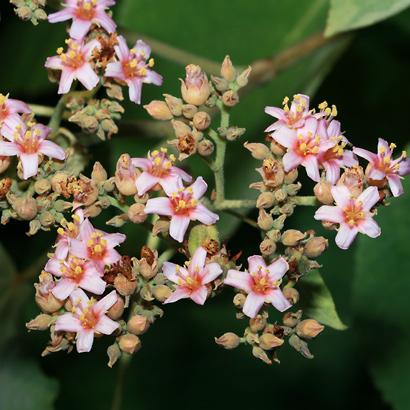Melochia umbellata - Melochia, Hierba del Soldado (flowers)