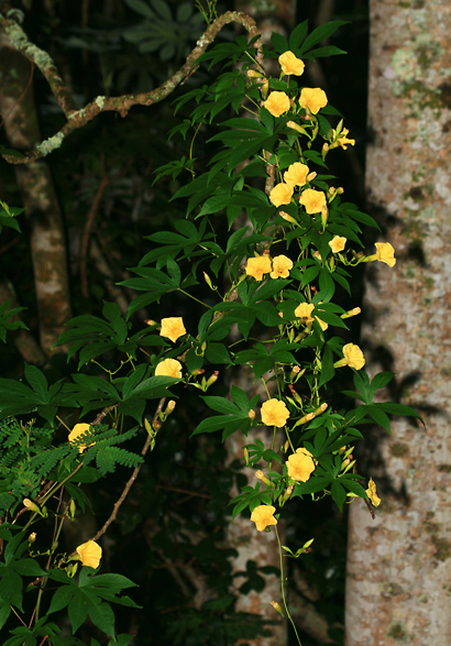 Merremia tuberosa - Woodrose, Spanish Arborvine, Hawaiian Wood-rose, Wood Rose, Yellow Morning-glory, Spanish Woodbine
