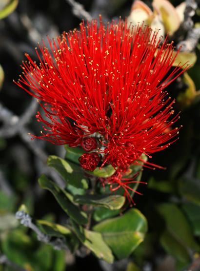Metrosideros polymorpha - 'Ohi'a Lehua, Ohia (red flowers)