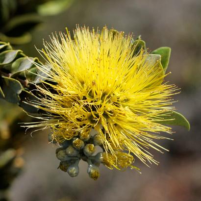 Metrosideros polymorpha - 'Ohi'a Lehua, Ohia (yellow flowers)