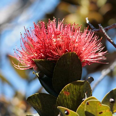 Metrosideros polymorpha - 'Ohi'a Lehua, Ohia (pink flowers)