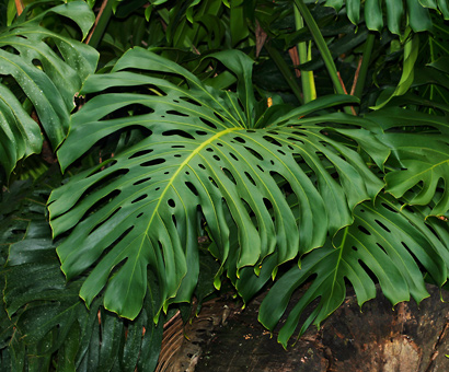 Monstera deliciosa - Monstera, Tarovine, Swiss Cheese Plant, Monster Fruit, Split-leaf Philodendron, Mexican Breadfruit, Windowleaf, Salad Fruit (leaf)