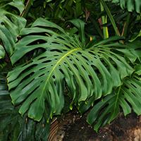 Tropical Foliage Plants - Monstera deliciosa – Monstera