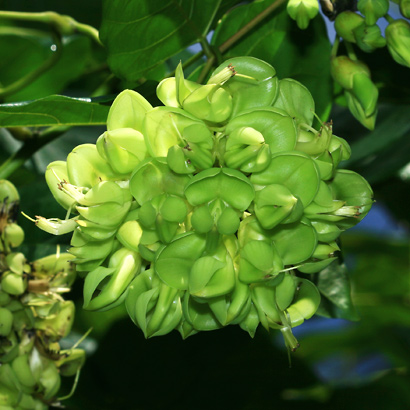 Mucuna gigantea - Seabean, Sea Bean (green flowers)