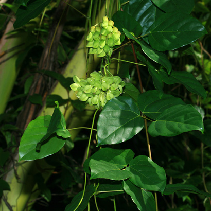 Mucuna gigantea - Seabean, Sea Bean (flowers and leaves)
