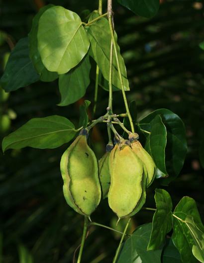 Mucuna gigantea - Seabean, Sea Bean (bean pods)