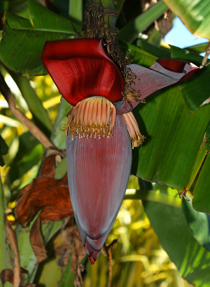 Musa acuminata 'Blue Java', 'Ice Cream' - Banana, Edible Banana (female flowers)