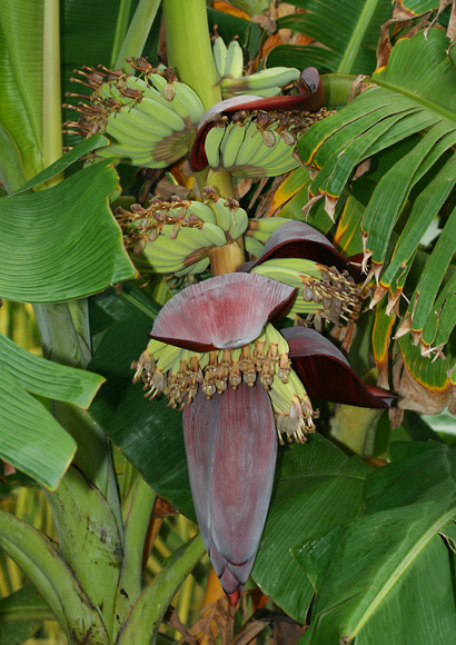 Musa acuminata 'Blue Java', 'Ice Cream' - Banana, Edible Banana (inflorescence with developing fruit)