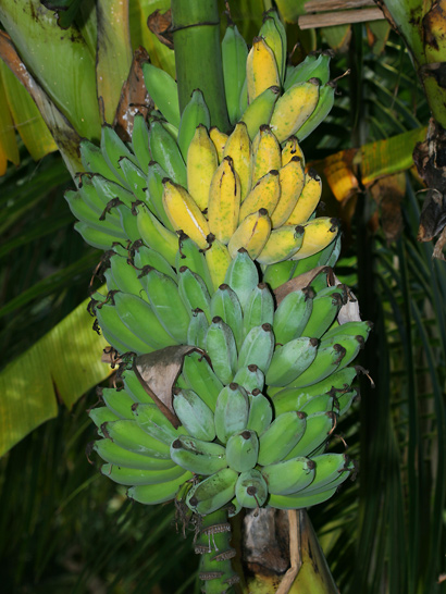 Musa acuminata 'Blue Java', 'Ice Cream' - Banana, Edible Banana (fruit)