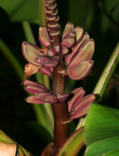 Musa ornata - Flowering Banana, Ornamental Banana (fruit)